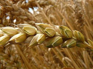 »Wir danken Gott für die Gaben der Ernte...« Foto: Public Domain